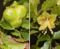 Llagunoa glandulosa