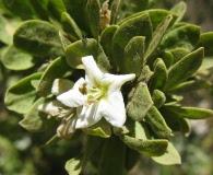 Lycium tenuispinosum
