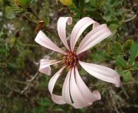 Mutisia ilicifolia