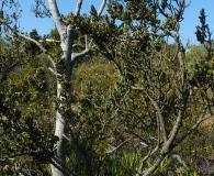 Myrceugenia colchaguensis