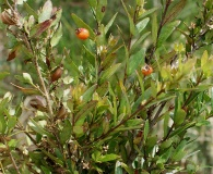 Myrceugenia parvifolia