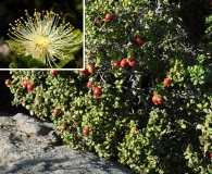 Myrcianthes coquimbensis