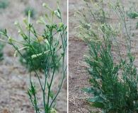 Nicotiana noctiflora