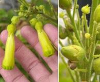 Nicotiana solanifolia