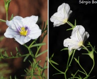 Nierembergia linariifolia