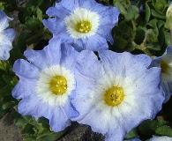 Nolana acuminata