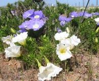 Nolana filifolia