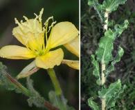 Oenothera parodiana