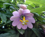 Passiflora pinnatistipula