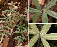 Pellaea ternifolia