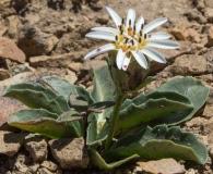 Perezia bellidifolia
