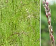 Piptochaetium stipoides