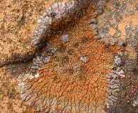 Placopsis perrugosa