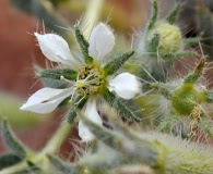 Presliophytum malesherbioides