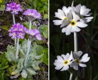 Primula magellanica
