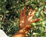 Prosopis ruscifolia
