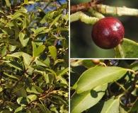 Prunus subcoriacea