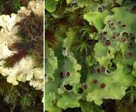 Pseudocyphellaria berberina
