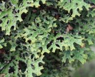 Pseudocyphellaria faveolata