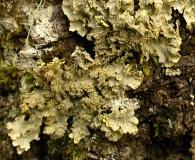 Pseudocyphellaria flavicans
