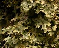 Pseudocyphellaria gilva