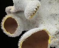 Pseudocyphellaria hirsuta