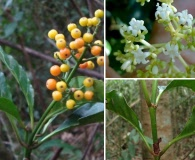 Psychotria carthagenensis