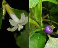 Psychotria suterella