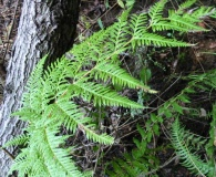 Pteris chilensis