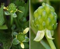 Ranunculus bonariensis