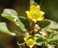 Ranunculus uniflorus