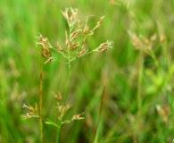 Rhynchospora tenuis