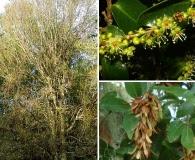 Ruprechtia laxiflora