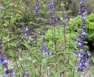 Salvia cuspidata