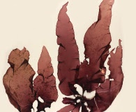 Sarcothalia crispata
