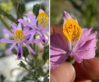Schizanthus hookeri