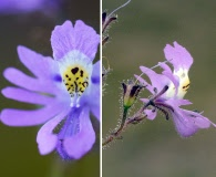 Schizanthus laetus