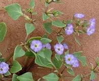 Sclerophylax kurtzii