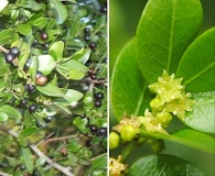 Scutia buxifolia
