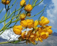 Senna aphylla