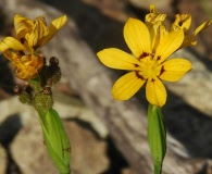 Sisyrinchium graminifolium