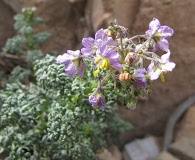 Solanum brachyantherum
