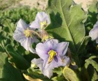 Solanum coquimbense