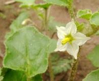 Solanum euacanthum
