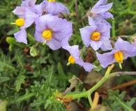Solanum heterantherum