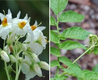 Solanum kurtzianum