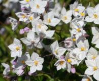 Solanum laxum