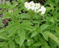 Solanum maglia