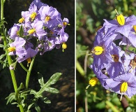 Solanum pinnatum