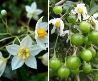 Solanum pseudoquina